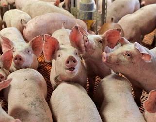 Україна заробила на експорті живих свиней 2,43 млн дол.