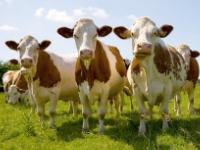 Поголів'я ВРХ в Україні скоротилося на 2,9%, свиней — на 4,6%, птиці — на 3,6%