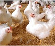 У Польщі зростання виробництва птиці підтримує експорт