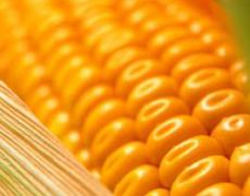 Кукурудза дещо впала в ціні