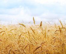 60% сортів озимої пшениці визначені сильними