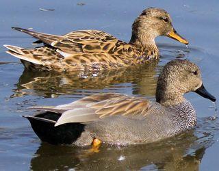 У Нідерландах знищили 190 тис. качок для запобігання епідемії пташиного грипу