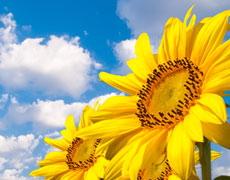 Українські аграрії одними з перших у Європі отримають нову виробничу систему для соняшнику від компанії BASF