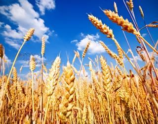 Мінсільгосп США зберіг прогноз виробництва та експорту казахстанської пшениці