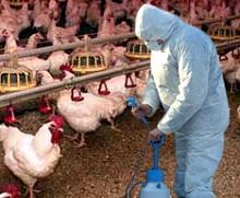 Південна Корея масово винищує домашню птицю через епідемію пташиного грипу