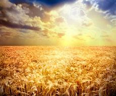 ФАО збільшила прогноз виробництва зерна в світі
