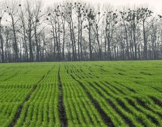На Донеччині 16% посівів озимих перебувають у слабкому стані