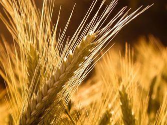 На Чернігівщині посіяли на 23% більше озимого жита