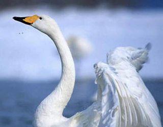 У Чернівецькій області від грипу птиці загинули лебеді
