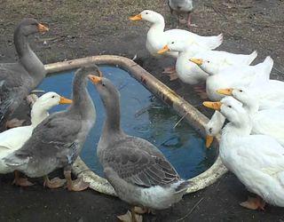На Одещині грип птиці підкосив понад тисячу курей і гусей