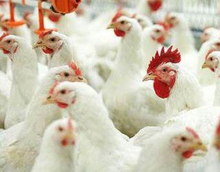 За рік поголів'я птиці в Україні скоротилося на 1%