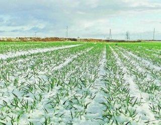 Озимі культури мають достатньо вологи завдяки сніговому покриву
