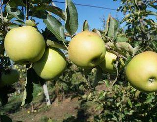 Виробництво яблук у світі сягнуло рекордних показників за останні роки