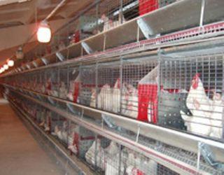 «Овостар Юніон» на 16% збільшила поголів'я птиці в 2016 році