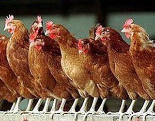 Понад 80 тис. курей померли від голоду на птахофабриці в Херсонській області