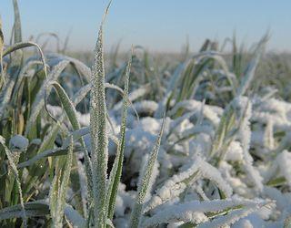Перезимівля озимих на Вінничині: захист снігу достатній