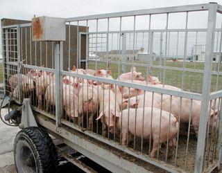 Ціни на живець свиней почали падати