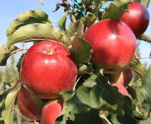 Україна відправила на експорт у січні майже вдвічі більше яблук