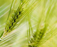 Прогноз світового виробництва пшениці підвищено на 2,8 млн тонн, ‒ USDA