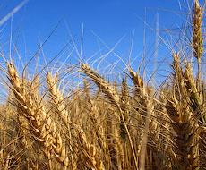 Українську пшеницю і квасолю готові купувати у Замбії