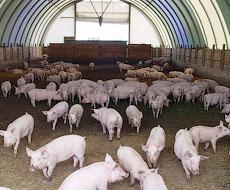 На Житомирщині запрацює новий свинокомплекс