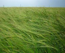 «Мрія» замінює яру пшеницю ячменем