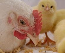 Поголів'я птиці за п'ять місяців збільшилося на 1,4%