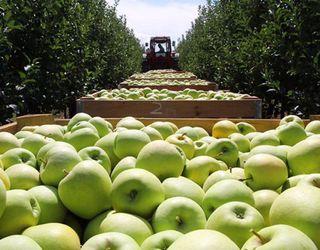 Росія залишається найбільшим імпортером яблук і груш у світі