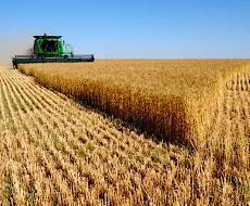 Кримські аграрії обмолотили 10% площ під ранніми зерновими