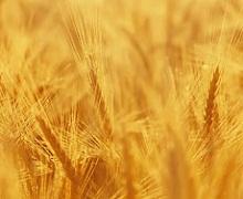 Дніпропетровські аграрії мають перший мільйон тонн нового врожаю зерна
