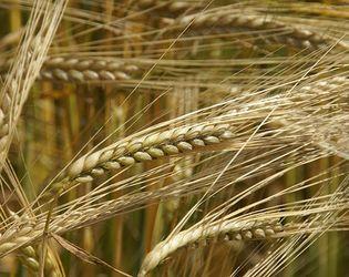 Врожайність пшениці та ячменю в «Прометеї» досягла рекордних показників