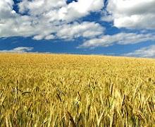 На Миколаївщині обмолочено 94% площ ранніх зернових