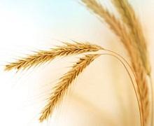 В Україні зібрано 24,3 млн тонн ранніх зернових