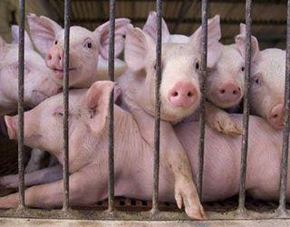 Живець свиней на початку серпня трохи подешевшав