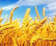Хмельницькі аграрії добилися найвищої врожайності зернових в Україні