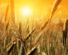 «Маїс» зібрав урожай ранніх зернових