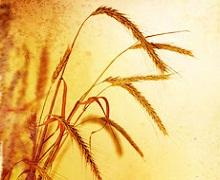 HarvEast досяг удвічі вищої врожайності озимої пшениці