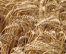 На Полтавщині впала врожайність ранніх зернових