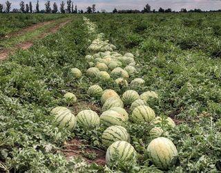 Херсонські аграрії зібрали 55% врожаю баштанних