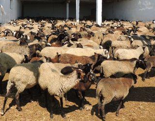 Турки придбають в Україні 10 тис. голів овець