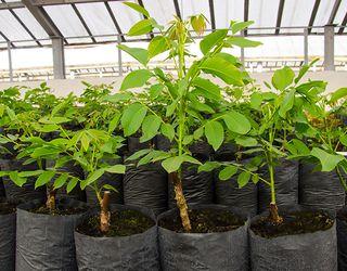 «Маїс» розробляє топ-технологію розмноження волоських горіхів