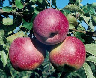В Україні збільшується виробництво яблук сорту Флоріна