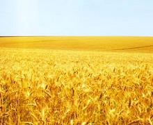 В Україні намолочено 37,3 млн тонн ранніх зернових і зернобобових