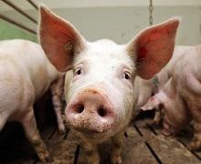 Живець свиней подешевшав на 2,2%