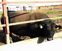 Харківська агрофірма отримала статус племінного репродуктора з розведення абердин-ангуських корів
