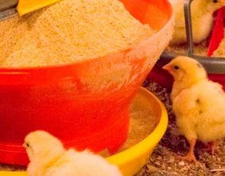 «Дитячі» годівниці допомагають курчатам швидше набирати ринкову вагу