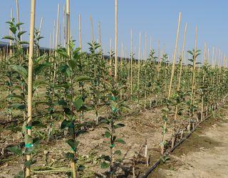Вінницьке агрогосподарство створило промисловий плодовий розсадник яблуні