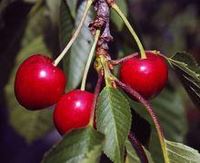 Врожай ранньої черешні можна захистити від шкідників органічними методами