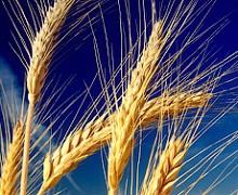 Світові ціни на зерно в жовтні дещо зросли