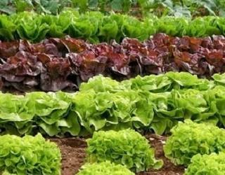 Біопрепарати збільшують дружність сходів салатних культур